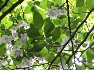 A beautiful Styrex tree with white flowers blooms annually in the gardens at the 1795 Acorn Inn B & B.