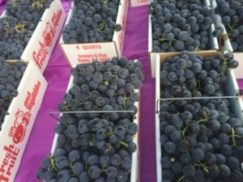 Baskets of aromatic, ripe, purple grapes, mostly likely Concord Grapes, at a farm stand during the fall in the Finger Lakes