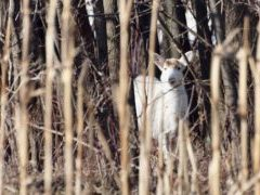Rare white deer in woods in Army Depot on Seneca Lake. The deer are not albinos but are a genetic anomaly.