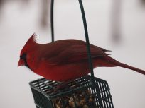 red cardinal on seed basket
