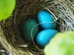 3 blue eggs in nest