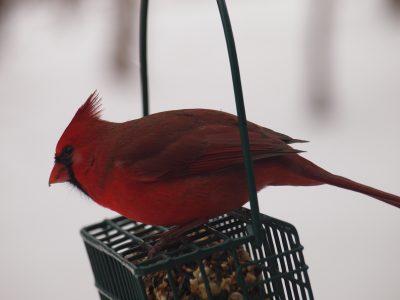 red cardinal on seed basket