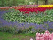 Garden flowers of yellow, read and purple tulips and pink hyacinth during the Spring
