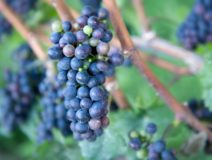 The perfect cluster of purple grapes ready for their transformation into world-class Finger Lakes wine.