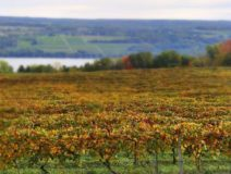 Grape vineyard in finger lakes ready for the harvest with the lake and farming fields in the distance